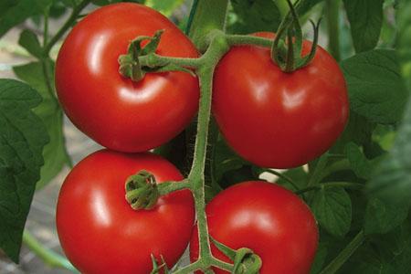 Tomato Hamlet