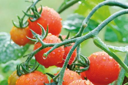 Tomato Lizzano