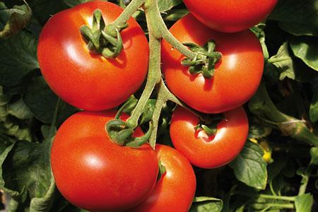 Tomato Previa