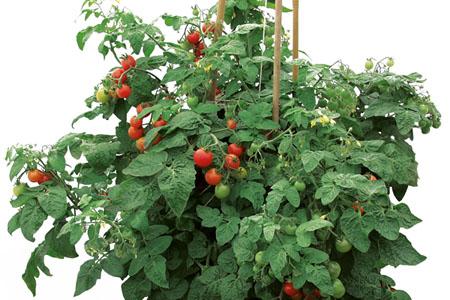 Tomato Siderno