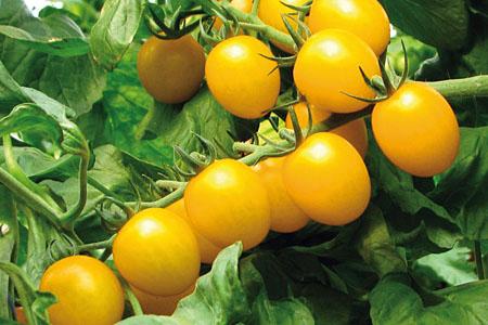 Tomate Stargold