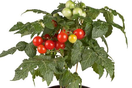 Tomate Siam