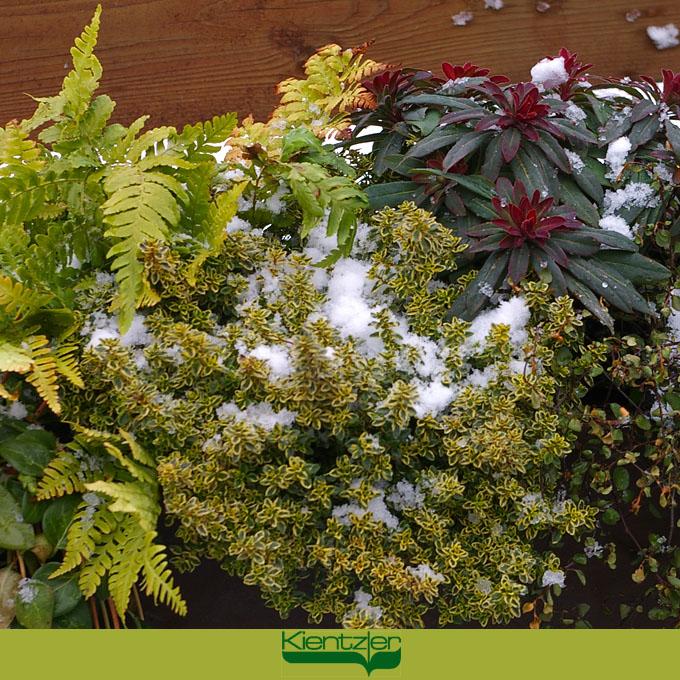 winterharte balkonbepflanzung