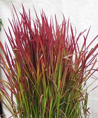 roter baron pflanze