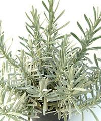 Lavendel  Silver Frost