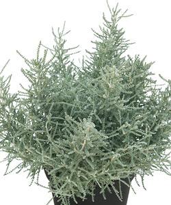 Heiligenkraut  Fine Leaf
