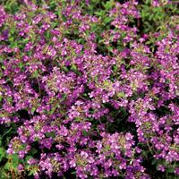 Thymian  Purple Beauty