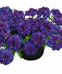 Hängeverbene Vepita Blue-Violet