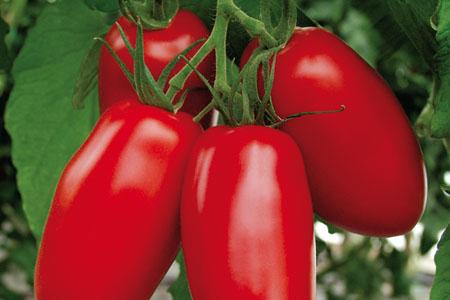 Tomate Agro