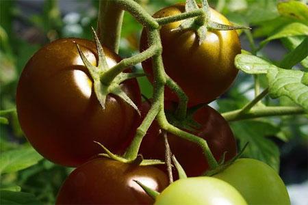 Tomate Choco Previa