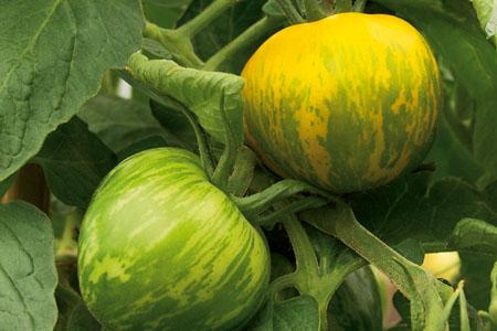 Tomate Grünes Zebra
