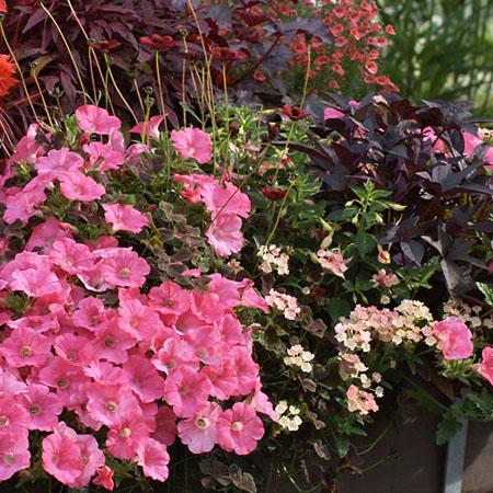 Romtanisches Blütenfest in Rosa