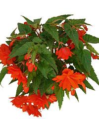 Begonie BELLECONIA Hot Orange