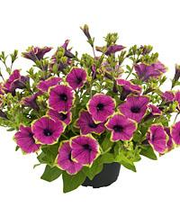 Petunie  Buzz Purple