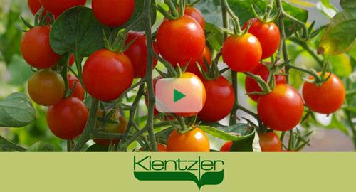 Tomaten anpflanzen auf Balkon und Terrasse
